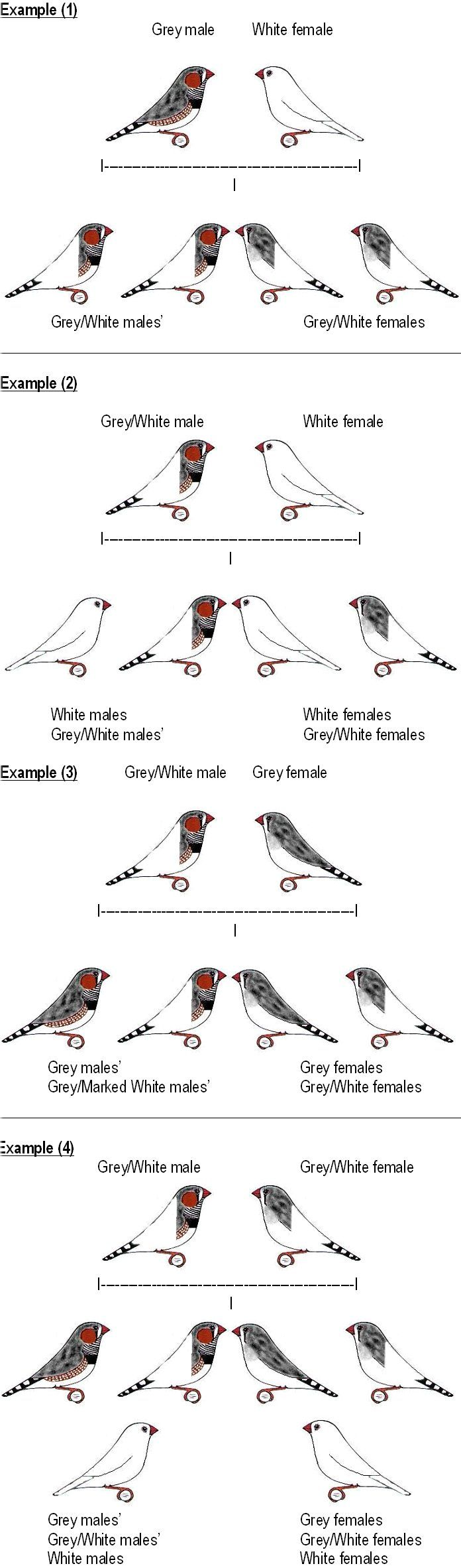 Zebra Finch Mutations | South East Qld Zebra Finch Society