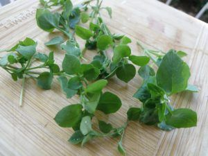 Chickweed for salad