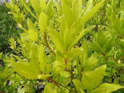 Laurus nobilis 'Aurea'