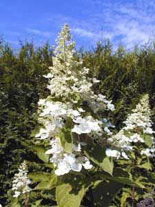 Poda de la hortensia panicular y arborescente