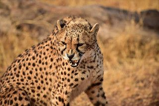 De Wildt Cheetah and Wildlife Centre, Hartbeespoort, North West, South Africa   by South African Tourism
