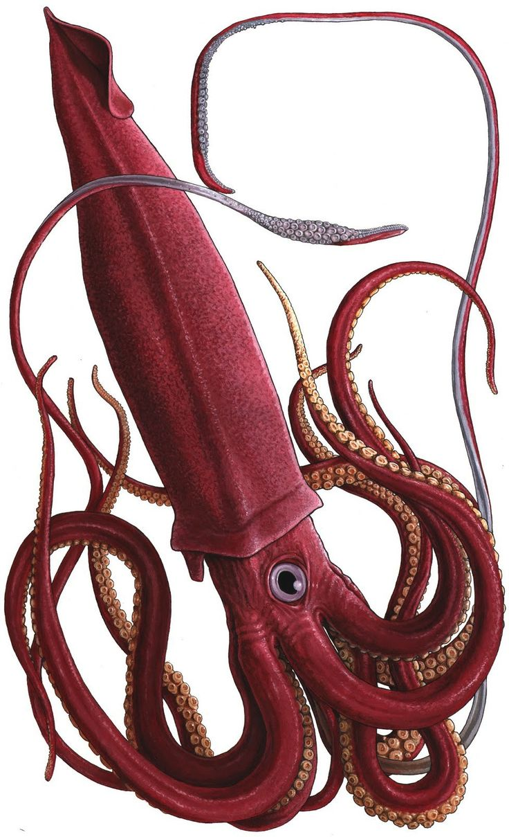 Giant-Squid.jpg 974×1,600 pixels