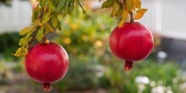 Avete mai pensato di #coltivare un #melograno nel vostro #giardino?  Come si faceva da bambini, provate a #piantare i suoi #semi.  NB: Sarebbe meglio un frutto di melograno raccolto dal giardino di un parente o amico, oppure acquistato dal #contadino, ma può andar bene anche quello di un supermercato.  Provate!  http://www.greenme.it/abitare/orto-e-giardino/14903-melograno-come-coltivare-semi