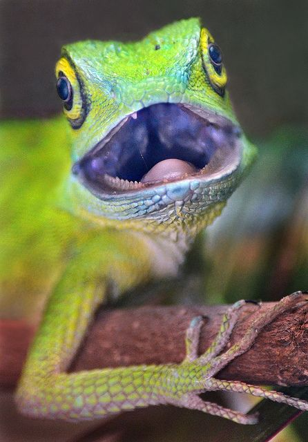 A Green Crested Lizard shows some attitude in the San Diego Zoo's reptile house.