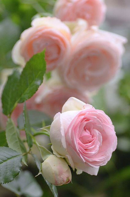 French rose, 'Pierre de Ronsard' / Rosa 'Meiviolin'. Vigorous, climbing rose, ultimate height 12' x 6'. Hardy, grow in a S, W or E aspect, in acid, alkaline or neutral soil that is moist but well-drained.