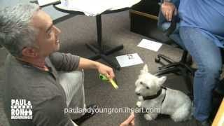 Cesar Millan from Cesar 911 and The Dog Whisperer Trains Paul's Westie in Seconds #puppytrainingbitingcesarmillan