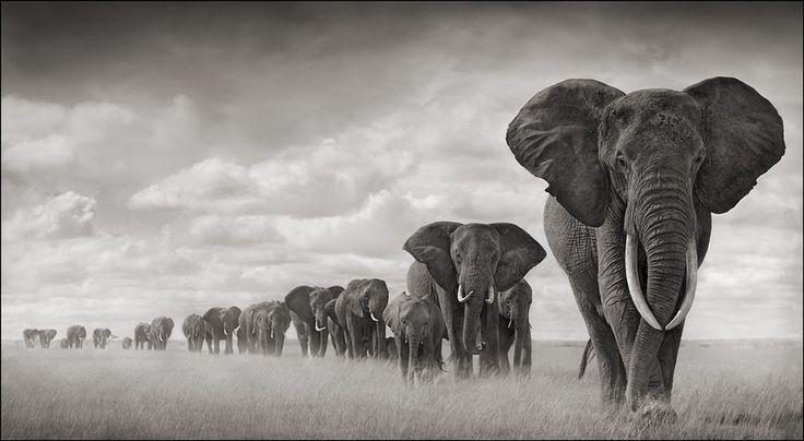 Elephants Walking Through Grass, Amboseli 2008 Nick Brandt