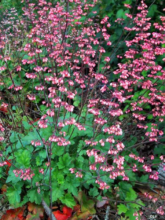 Container plants for shade - coral bells | For the Home ...