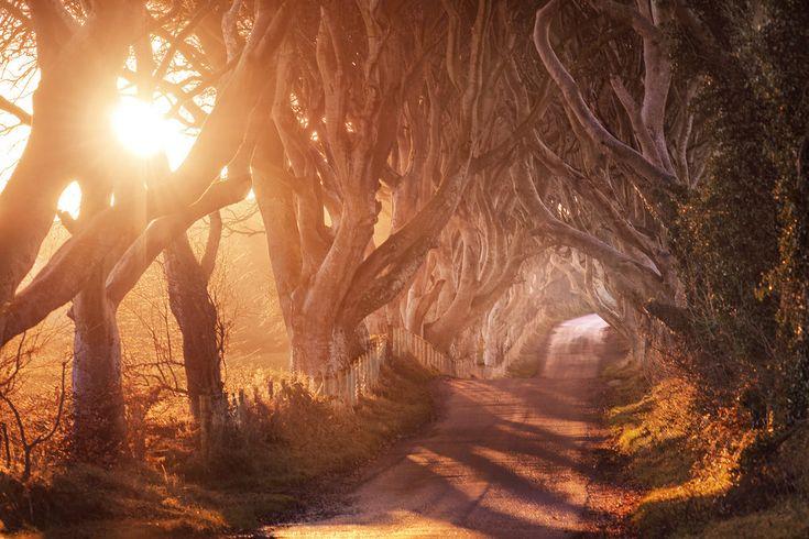 Beech Trees in Northern Ireland