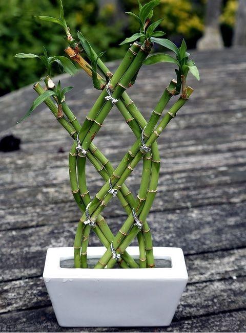 Комнатное растение бамбук (48 фото): уход и размножение http://happymodern.ru/komnatnoe-rastenie-bambuk/ Комнатный бамбук еще называют растением удачи