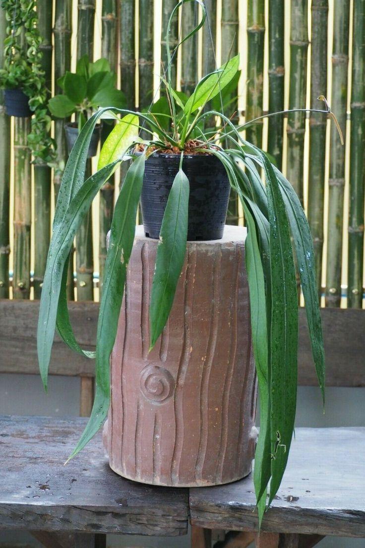 """Anthurium Vittarifolium """"Rare Aroid"""" Plant Original"""