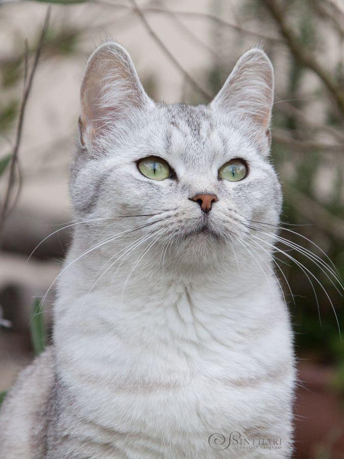Europäisch Kurzhaar-Katze Aniki
