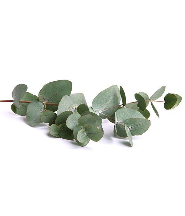 L'huile essentielle d'Eucalyptus globulus est principalement composée d'eucalyptol. Cette substance active confère à l'huile essentielle des propriétés remarquables.