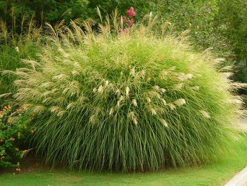 18 best dig it grasses images on pinterest ornamental for Fast growing ornamental grass