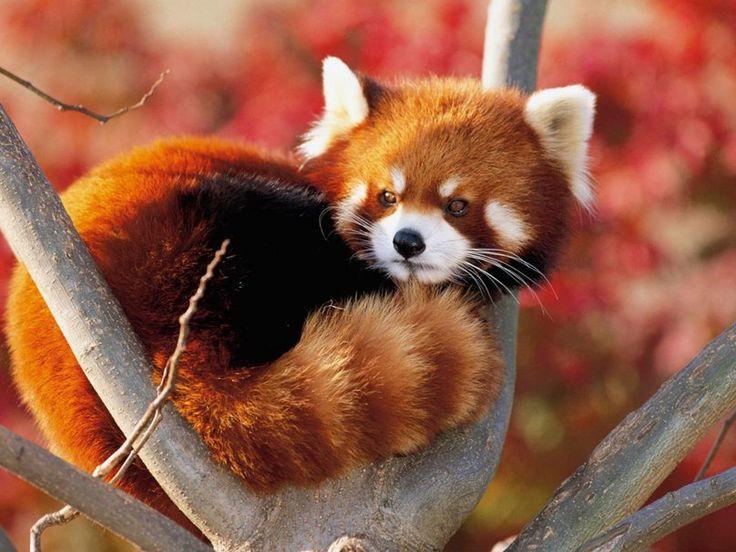 um bebê panda-vermelho Vetor