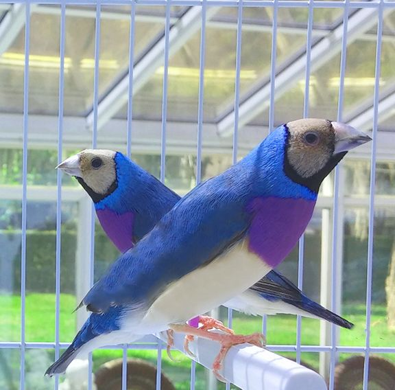 Gouldian Finches in a gorgeous coloration.  Bred in captivity, of course.