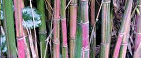 Bamboo Creations Victoria | Melbourne Bamboo Nursery | Bamboo Plants