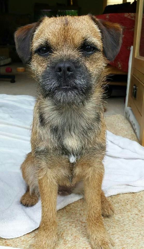 Ok Look about this sheet thing! I prefer a Bed preferably Yours! Border Terrier