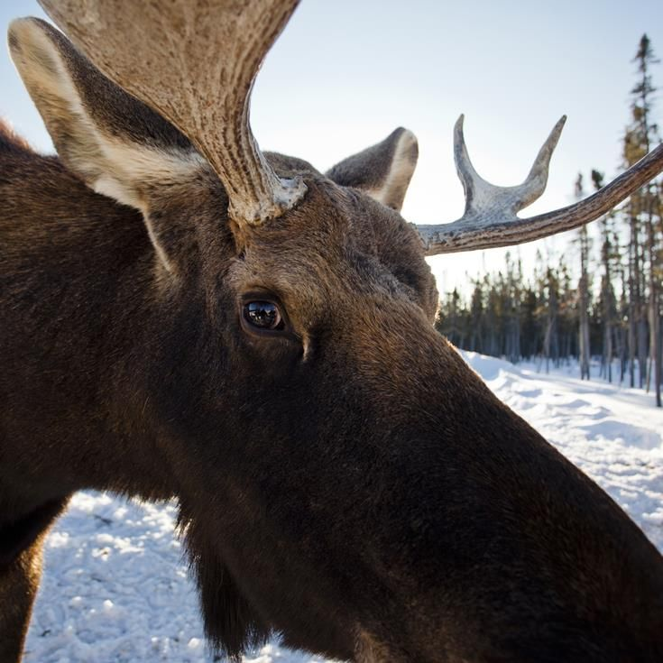 Quebec; The Land of the Moose