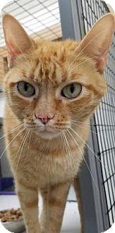 Columbiana, AL - Domestic Shorthair. Meet Oliver, a cat for adoption. http://www.adoptapet.com/pet/17474590-columbiana-alabama-cat