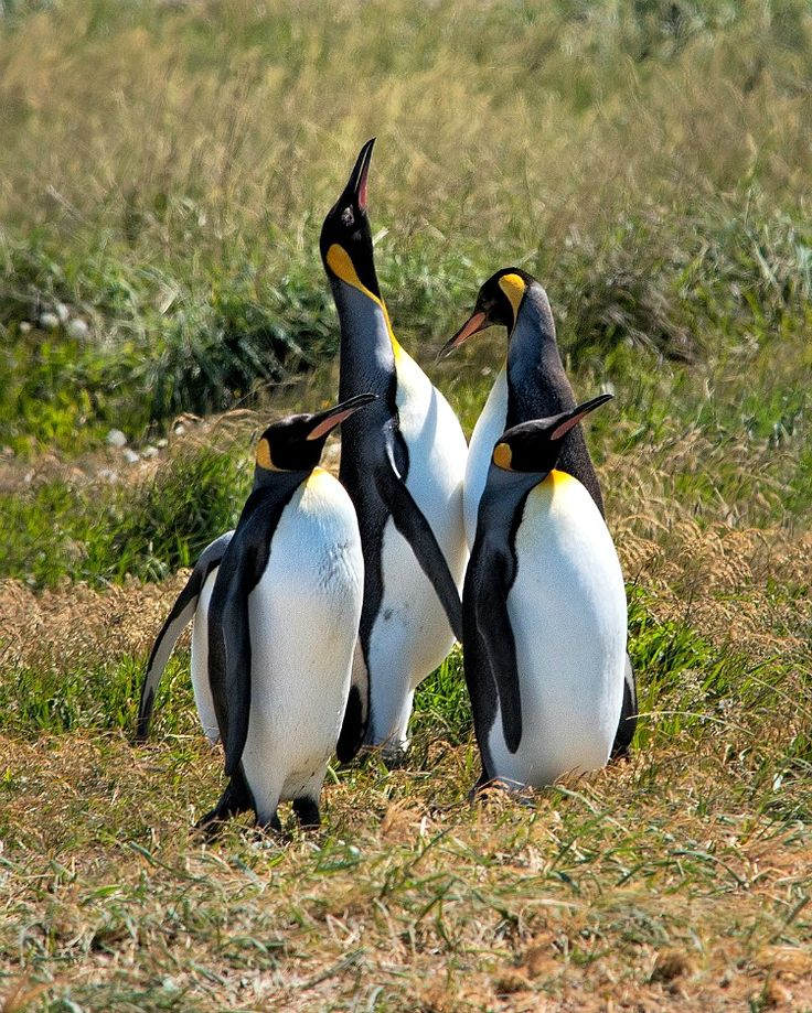 These King Penguins in Tierra del Fuego appear to be performing for the Solo Travel Society member who shared this photo with us.