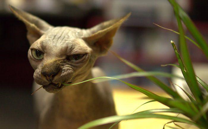 Сфинксы - грациозные голые кошки
