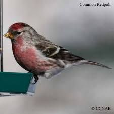 Image result for redpoll bird
