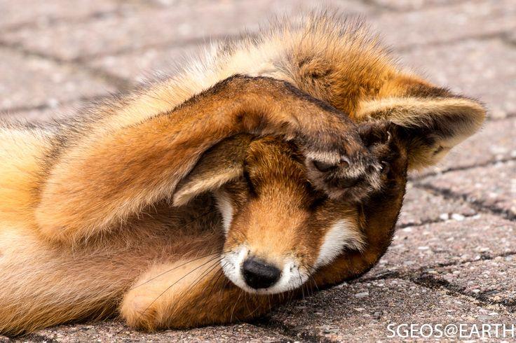 Red Fox by Steven Vandergeest on 500px