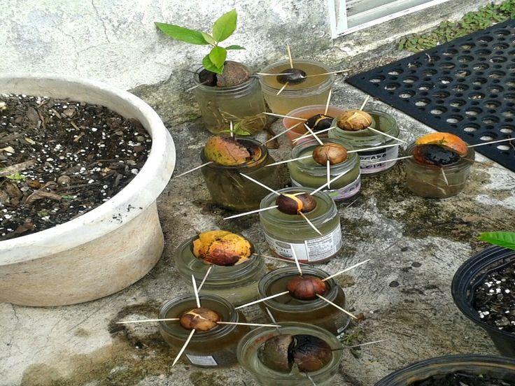 die besten 25 growing avocado seed ideen auf pinterest wie man pflanzen anbaut avocado baum. Black Bedroom Furniture Sets. Home Design Ideas