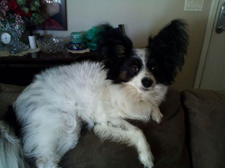 Zorro, my papillon with a summer haircut | Papillon dog | Pinterest | Haircuts, Papillons and ...