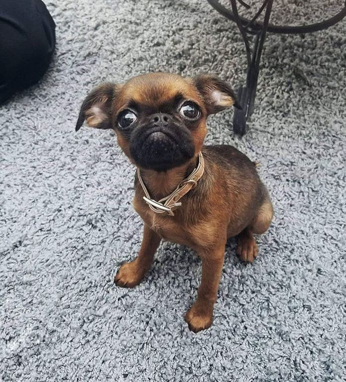 Smooth Coat Brussels Griffon They Do She S A Little Bit