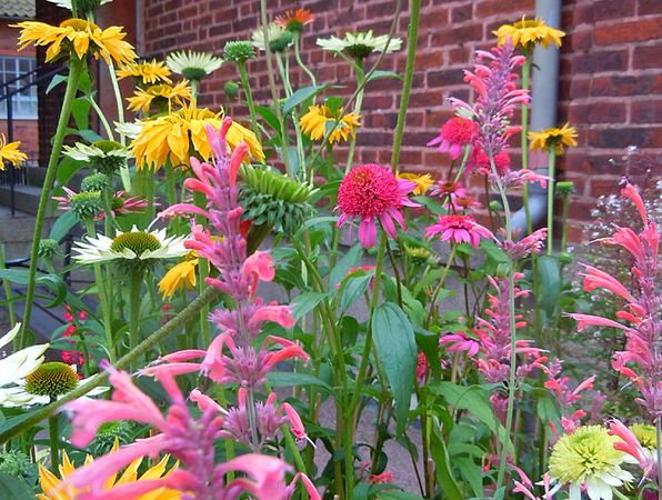 Röd solhatt, Echinacea purpurea, som förr hette röd rudbeckia, är en värmeälskande läkeväxt, som drar till sig fjärilar och bin. Man har tagit isär solhattarna ur det stora släktet Rudbeckia och gett dem ett eget namn, Echinacea purpurea. Från början var den ju en medicinalväxt från den amerikanska prärien. Den är inte så kräsen på jordmån, bara växtplatsen är riktigt väldränerad. Älskar sol och värme. Sorten 'Magnus' valdes till Årets Perenn 1998. Bild: En samling nya solhattar med…