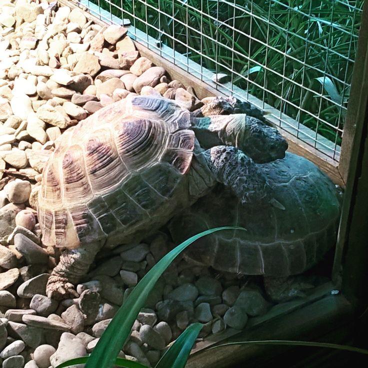 Turtle's love