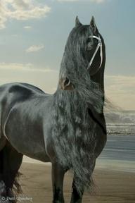"Fries paard /Dutch ""Fries"" Horse"