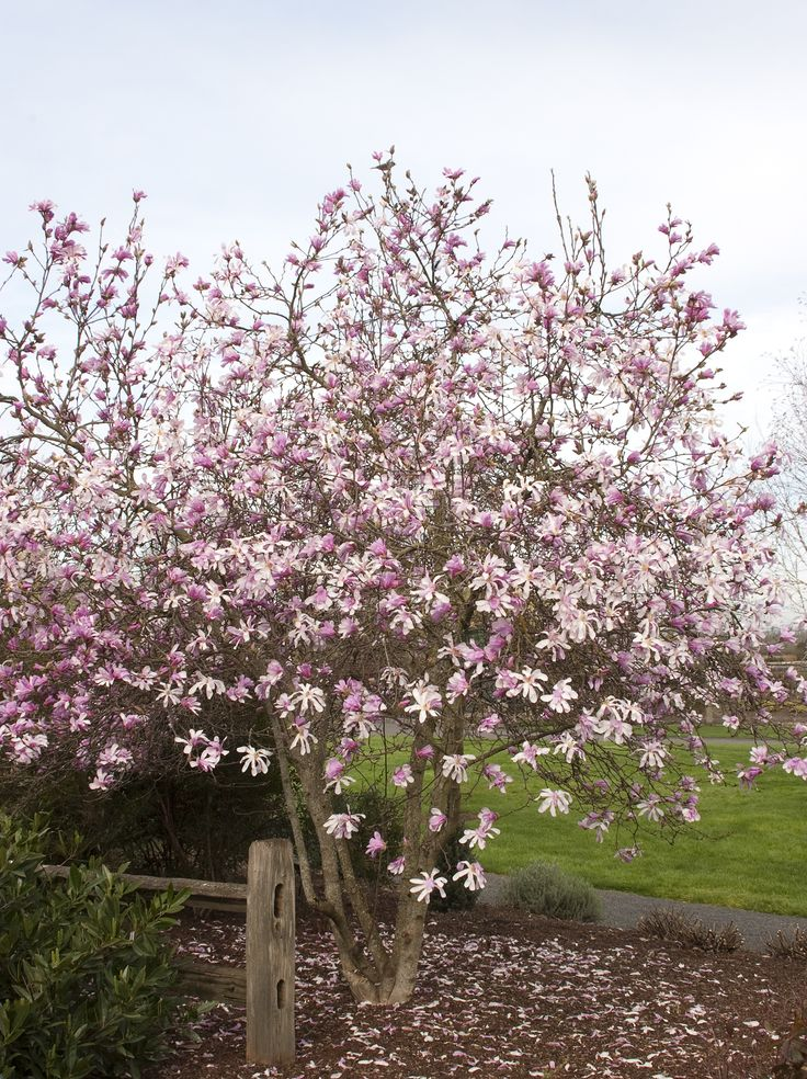 Leonard Messel Magnolia - Slow-growing shrub to 10 to 15 ft. high, 12 ft. wide, larger as a tree form.