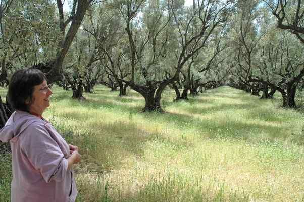 Californian olive oils prove their quality as Italian oils undergo fraud investigation - - - Olivia Newsome-Grieco shows off the historic Berkeley Olive Grove north of Oroville in this file photo from 2012. Barbara Arrigoni — Mercury-Register file photo