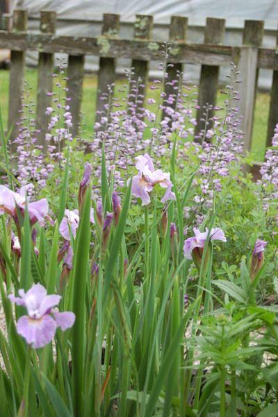 Siberian iris with baptisia - WOW!