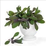 Šalvia – dobrá bylinka, použitie, účinky, čaj | Peknetelo.eu