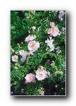 Rosa canina Abbots Wood