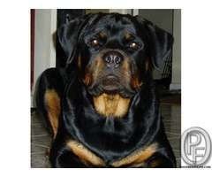 Rottweiler pup for sale WITH US 7666666299
