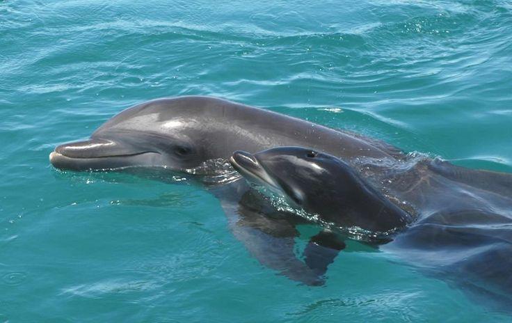 een baby dolfijntje en de moeder!!    (moeder achter)