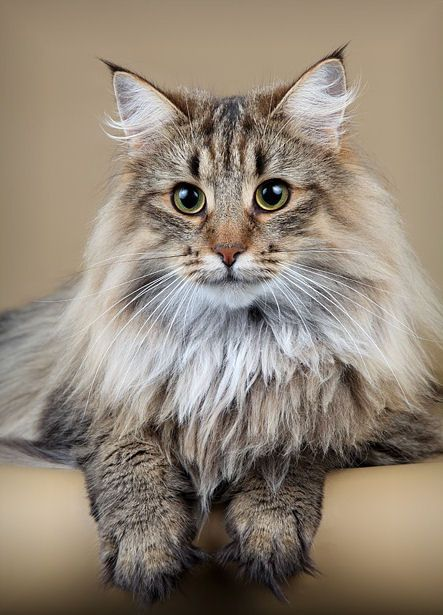 Maine Coon ~ http://www.mainecoonguide.com/where-to-find-maine-coon-kittens-for-sale/