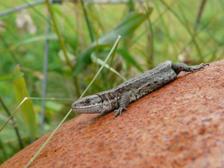 Common Lizard basking (Rob Williams)