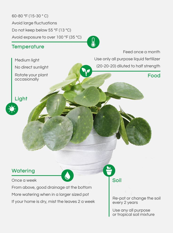 How To Care For Your Pilea – Botanik