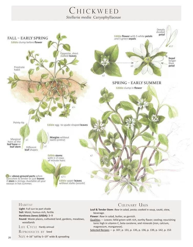 vitamins and minerals, calcium, potassium, and iron. Chickweed is also a mild and safe diuretic, and can help with cystitis and the urinary tract.