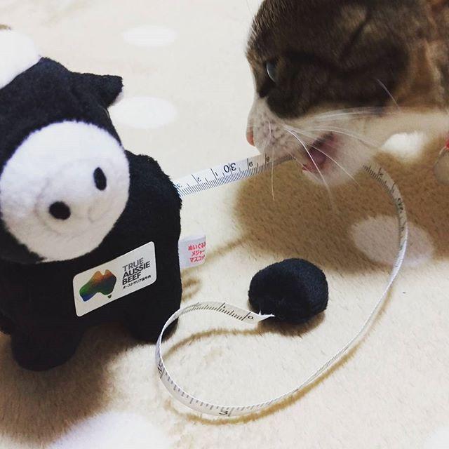 #癒しにゃんこ #猫 #愛猫 #オージービーフ #ぬいぐるみ は、メジャー機能付き(笑) #猫じゃらし と勘違い(笑)