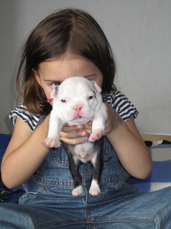 This is Mona the Little Girl with one of her Boston Terrier Puppies - http://www.bterrier.com/boston-terrier-puppies-from-cuenca-ecuador/ https://www.facebook.com/bterrierdogs