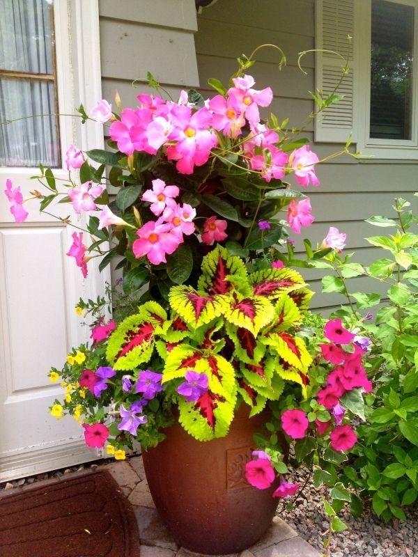 Mandevilla, coleus, petunias