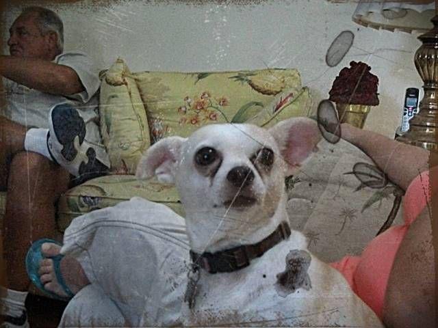 Best 25 Pitbull Chihuahua Mix Ideas On Pinterest
