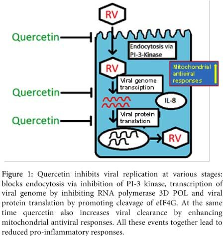 Quercetin, a plant flavonol found naturally in apples, plums, red grapes, green tea, elder flower and onions, packs a powerful antiviral punch, inhibiting several strains of influenza, hepatitis B and C and other viruses Quercetin also combats inflammation and acts as a natural antihistamine.